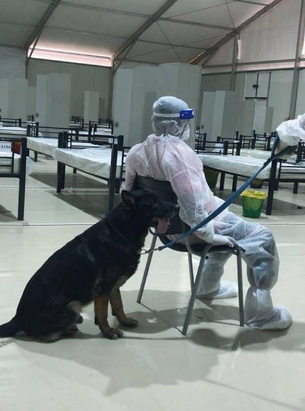Les éqiupes émiraties testent leurs chiens renifleurs auprès de patients malades à l'hôpital de Charjah, en juin 2020.