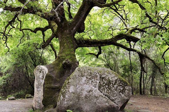 En Corse, entre le col de Bavella et le village de Solenzara, sur la D268, un vieux chêne a poussé dans la fissure d'un bloc de granite.