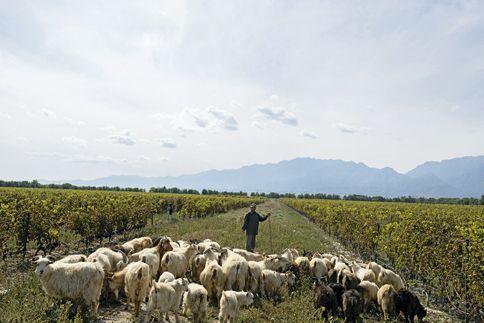 Depuis le château Mihope, on voit les superbes montagnes d'Helan. Vignobles bio, ce sont les chèvres qui dévorent les mauvaises herbes.