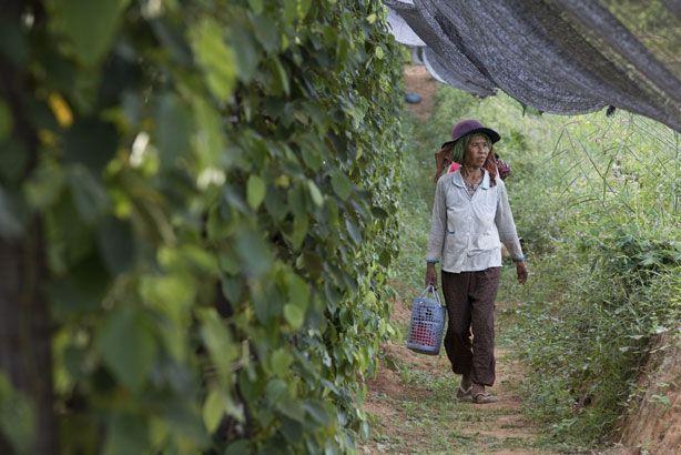 A Kampot, à 140 kilomètres de la capitale Phnom Penh, la culture du poivre est artisanale.