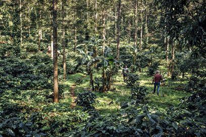 En quelques années, le paysage s'est métamorphosé. Les caféiers sont plantés au milieu d'essences rares et de poivriers. L'ensemble constitue un écosystème extraordinaire.