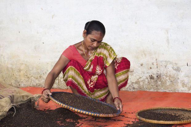 Tri des baies de poivre timur (au parfum d'agrume) à l'aide de plateaux tressés, au marché de Katmandou, au Népal.