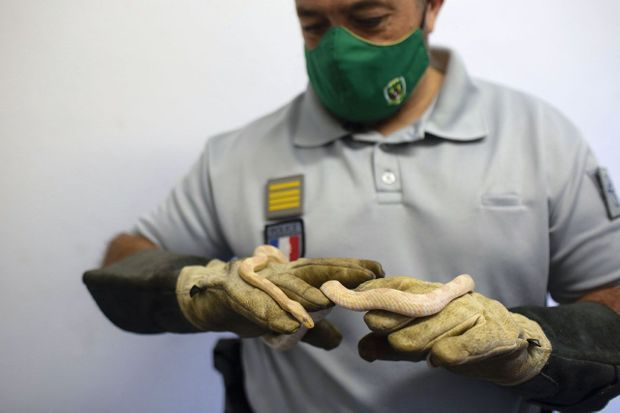 Les fonctionnaires de l'Office français de la biodiversité se retrouvent avec des crotales aux morsures mortelles...