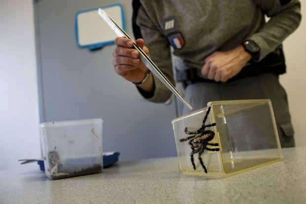 Les fonctionnaires de l'Office français de la biodiversité se retrouvent avec de dangereuses mygales, des crotales aux morsures mortelles, des wallabys...