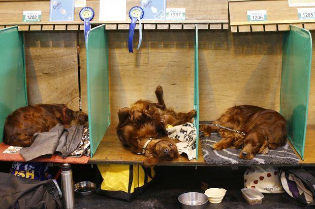 Trois setters irlandais se reposent avant le concours du Crufts, à Birmingham.