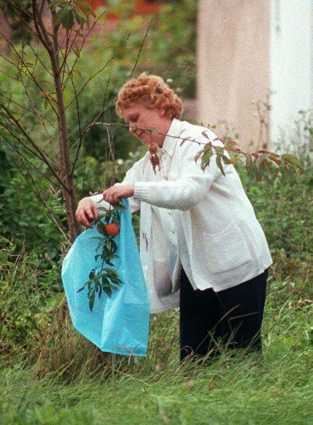 Simone Weber cueille des pêches dans son jardin pendant une pause lors de son interrogatoire par le juge Thiel, dans sa propriété de Rosières-Aux-Salines.