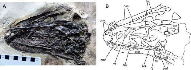 Le squelette du Zhenyuanlong suni en superbe état.