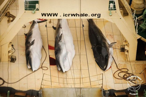 Tableau de chasse. Trois rorquals sur le pont du « Nisshin Maru », en 2013. Réalisées sous la houlette de l'Institut japonais de recherche sur les cétacés (ICR), ces pêches « scientifiques » relevaient de l'activité commerciale déguisée.