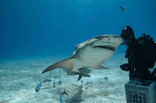 Jérôme Delafosse en plongée au milieu des requins au printemps 2020 aux Bahamas.