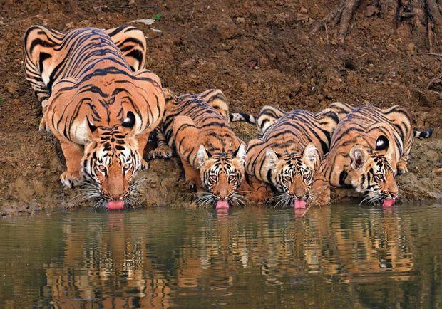 Attaquer par l'arrière, une technique gagnante : dans le parc national Ranthambhore, au Rajasthan, en Inde