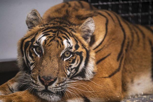 Une des tigresses recueillie au parc.