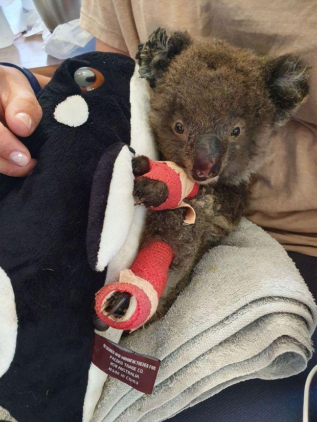 Un koala sauvé des flammes à Kangaroo Island