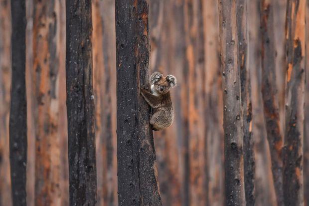 Un koala réfugié en haut d'un eucalyptus calciné, sur l'île de Kangaroo, le 20 janvier 2020.