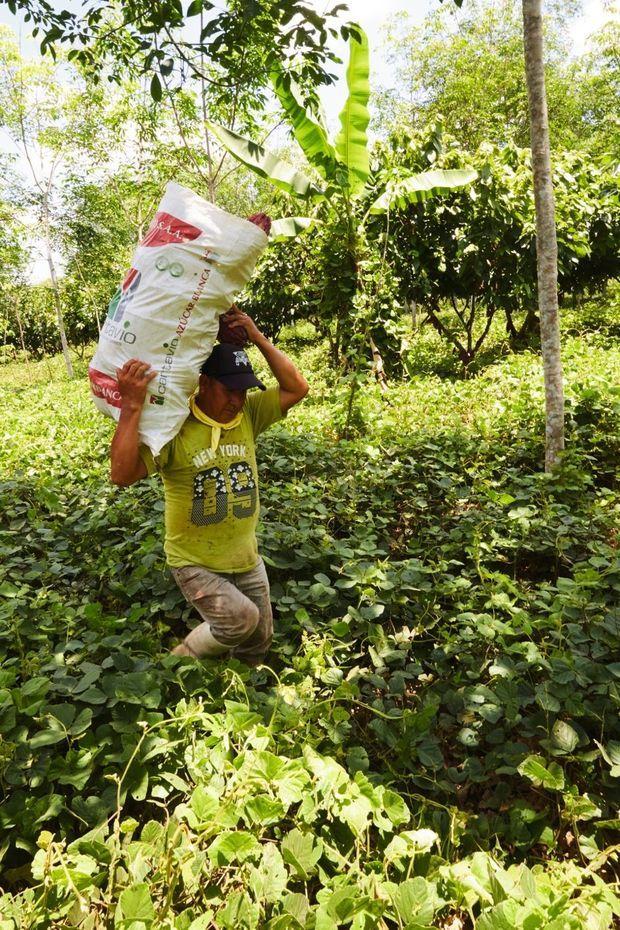 Un ouvrier de la plantation qui accueille plus de 30 espèces de cacaoyers et d'autres essences.
