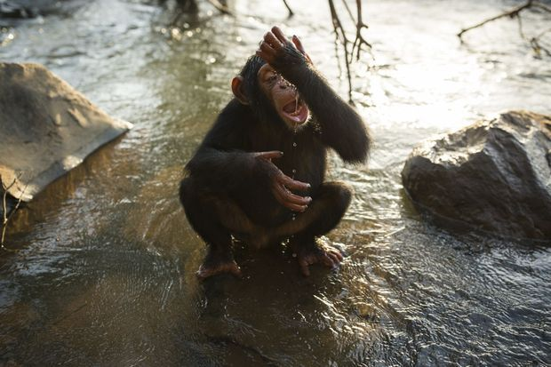 Une balade, le long du fleuve Niger, qui donne soif à Hawa, jeune femelle de 3 ans. Les braconniers ont mangé sa mère.