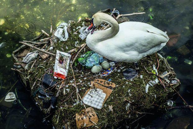 Victime de nos déchets, ce cygne tuberculé, installé sur un lac de Copenhague, tente de s'adapter pour nidifier.