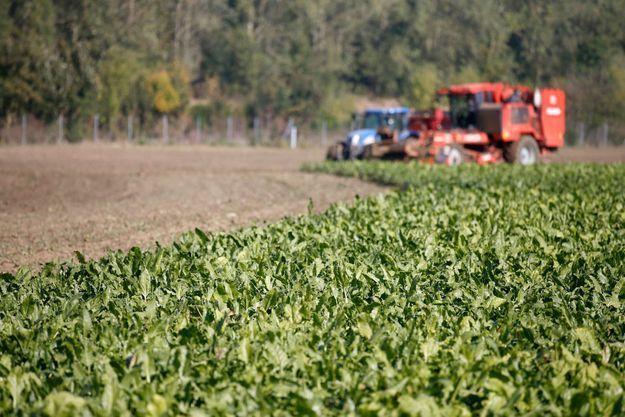 Champ de betteraves destinées à la production de bioéthanol.