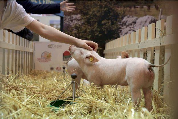 Au salon de l'agriculture, un adorable porcinet indifférent à la guerre des prix.