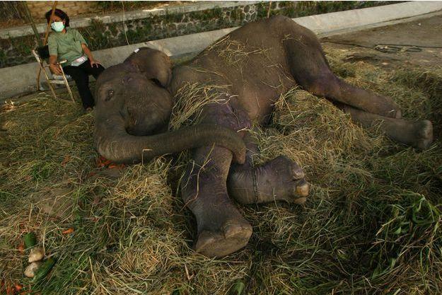 Fitri, une éléphante malade, est photographiée en juillet 2011 dans son enclos du zoo de Surabaya.