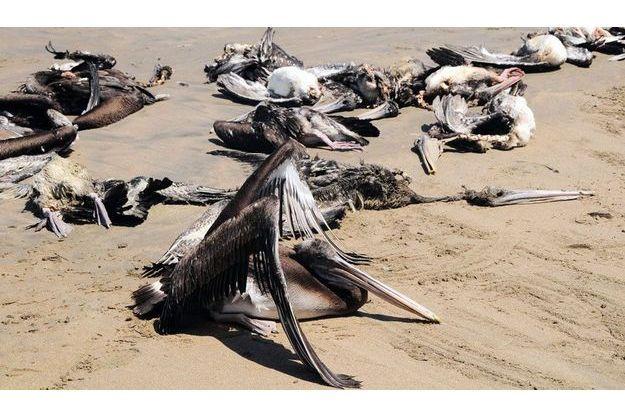 Sur la plage de Reventazon, près de Piura, au Pérou, des centaines de carcasses de pélicans gisent sur le sable.