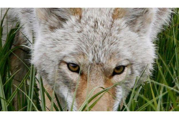 """La """"bête"""" est un chien loup selon les gendarmes."""