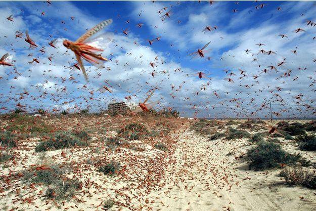 Un nuage de sauterelles s'abat sur les îles Canaries.