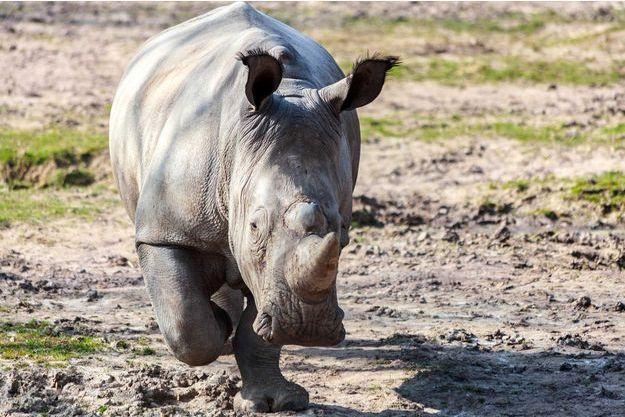 Le rhinocéros Vince du zoo de Thoiry, qui a été abattu en mars.