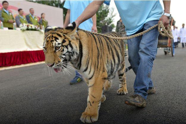 Un tigre en captivité, dans la province de Yunnan (Chine)