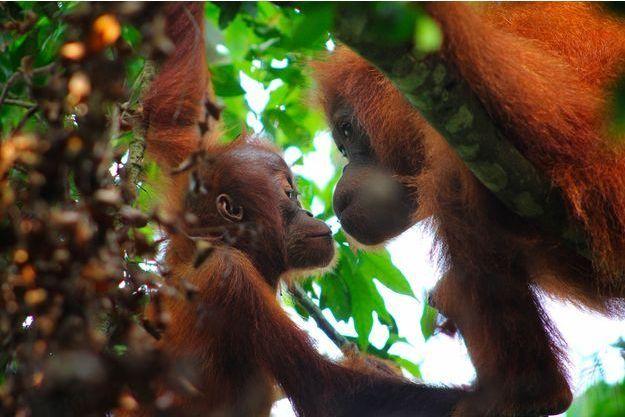 Illustration de deux orangs-outans de Sumatra, Indonésie