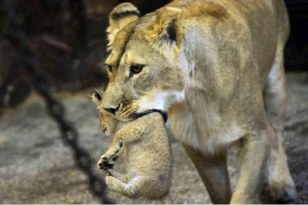 Illustration d'une lionne dans un zoo russe.