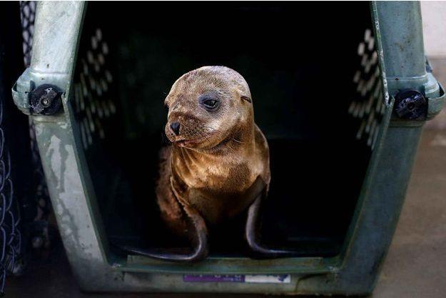 Un bébé phoque recueilli en Californie.