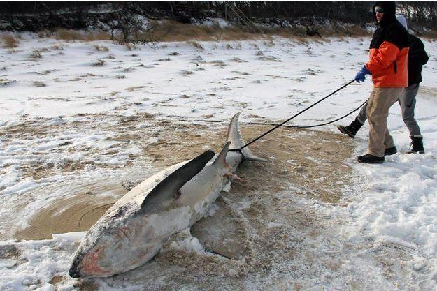 Un requin mort sur une plage de Cap Cod.