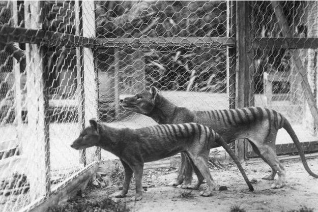 Deux tigres de Tasmanie photographiés au zoo Beaumaris à Hobart (Australie) dans les années 1930.