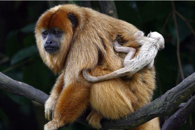 Les singes hurleurs retrouvent la Forêt de Tijuca à Rio.