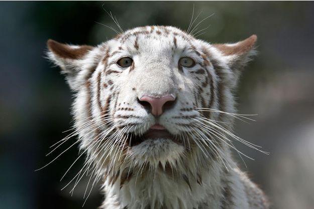 Un tigre du Bengale blanc au Pérou.