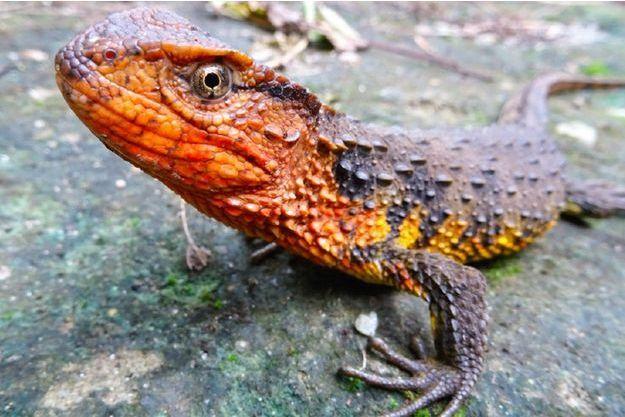 Le crocodile lézard du Vietnam.