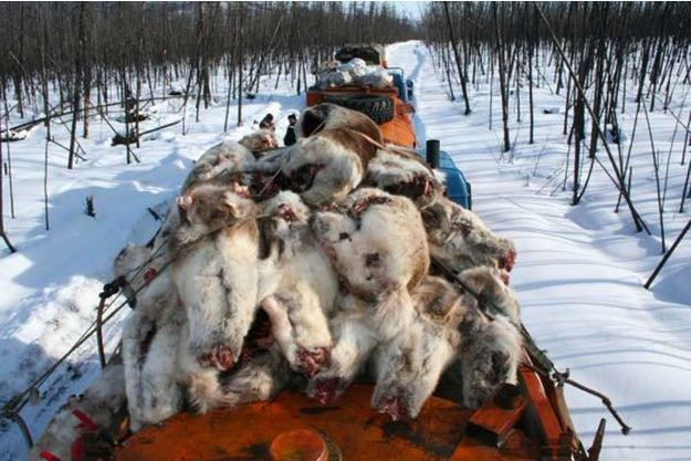 Des carcasses de rennes, trouvées dans la réserve naturelle de Sibérie centrale.