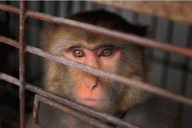 Un macaque en cage, dans le village de Suzhou en Chine.