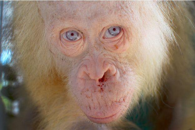 L'orang-outan albinos sauvé par l'ONG.