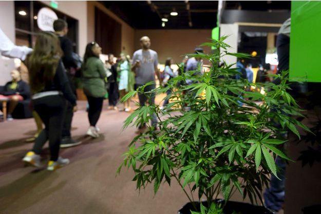 Un plant de cannabis à Montevideo, en Uruguay (image d'illustration).