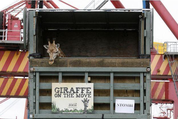 En 2008, le zoo australien de Taronga préparait le déplacement d'une de ses girafes. Elle était logée dans un camion qui la recouvrait entièrement.