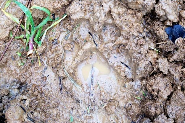 Gros chat, guépard ou une autre espèce: le félin de Montévrain conserve son mystère: seules ses empreintes trahissent sa présence.