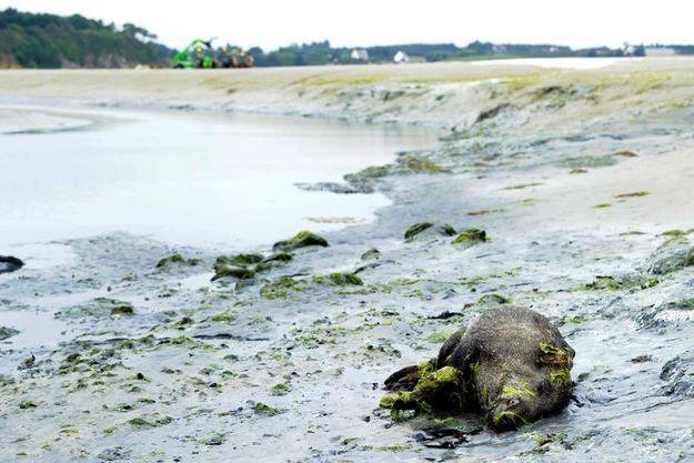 A l'été 2011, 36 sangliers avaient été retrouvés morts dans cet estuaire des Côtes d'Armor.