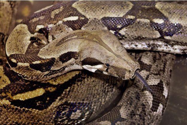 Un boa constricteur (image d'illustration).