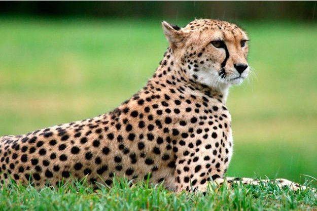 Le guépard est-il notre suspect ?