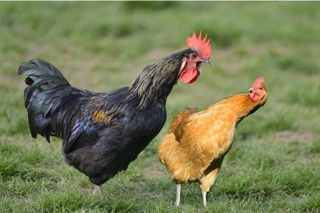 Un coq et une poule en liberté (image d'illustration).