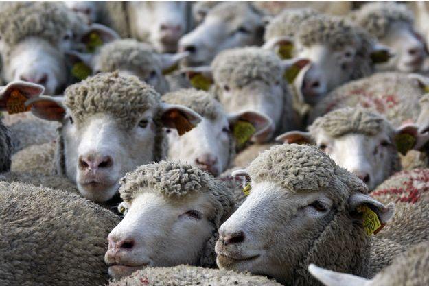 Des moutons à Marseille (image d'illustration).