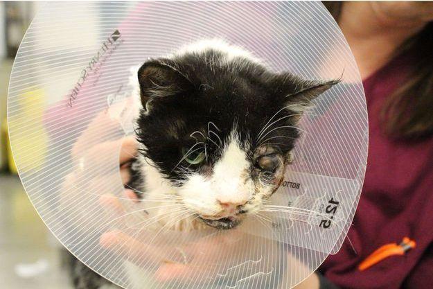 Bart le chat zombie a été opéré avec succès la semaine dernière. Il ne sera pas rendu à son propriétaire.