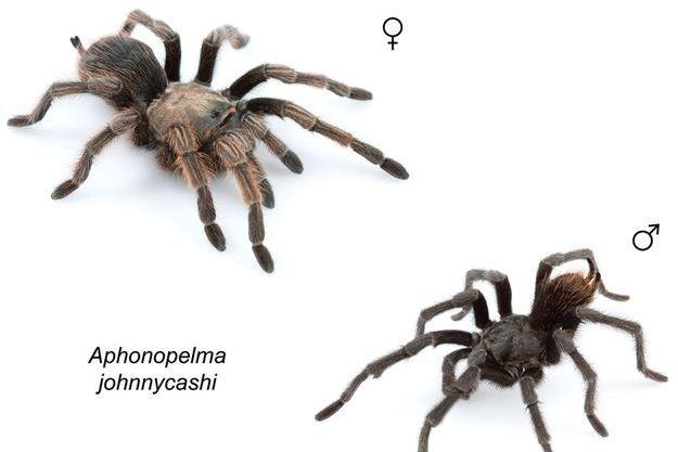 L'araignée Johnny Cash