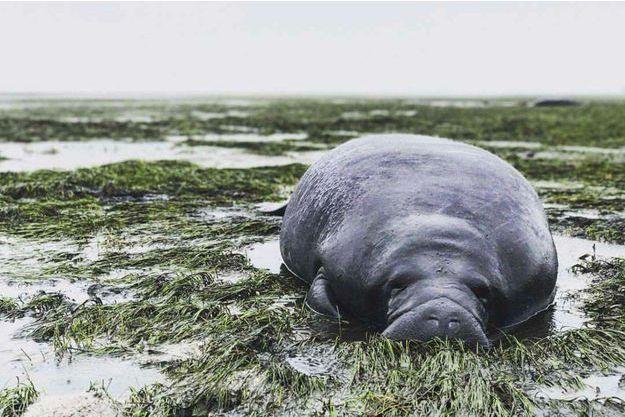 Un des deux lamantins bloqués dimanche dans le Comté de Manatee (Floride).
